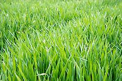 青汁などの原料となる大麦若葉